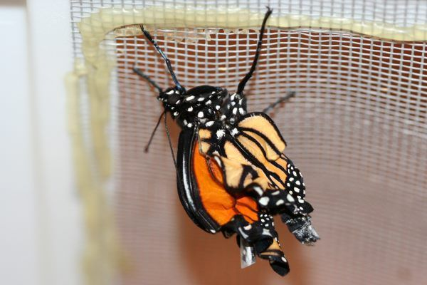 Common Monarch Ailments 101 - Save Our Monarchs